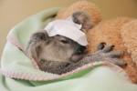 koala blessée.jpg